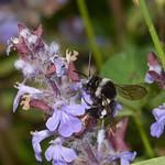Bee, Thyreus species from Corfu 2565