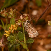 Lang's Short-tailed Blue, Leptotes pirithous from Corfu 2464