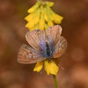 Lang's Short-tailed Blue, Leptotes pirithous from Corfu 2472