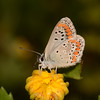 Brown Argus, Aricia agestis from Corfu 2459