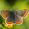 Brown Argus, Aricia agestis from Corfu 745