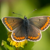 Brown Argus, Aricia agestis from Corfu 746
