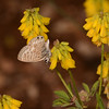 Lang's Short-tailed Blue, Leptotes pirithous from Corfu 2469