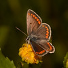 Brown Argus, Aricia agestis from Corfu 2457