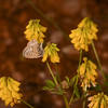 Lang's Short-tailed Blue, Leptotes pirithous from Corfu 2468