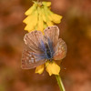 Lang's Short-tailed Blue, Leptotes pirithous from Corfu 2471