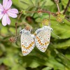 Brown Argus mating, Aricia agestis from Corfu 2556