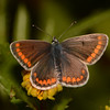 Brown Argus, Aricia agestis from Corfu 2463