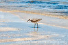 Adult Breeding Willet