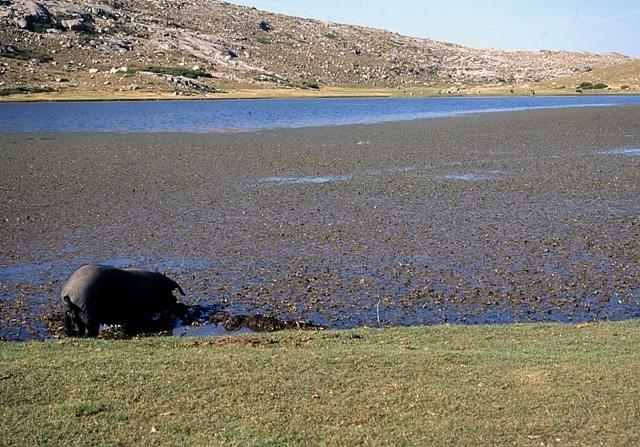 Un cerdo bebiendo agua o algo parecido en el Lago Ninu