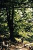 El castaño es uno de los arboles habituales en los bosaues corsos (ruta des Châtagniers)
