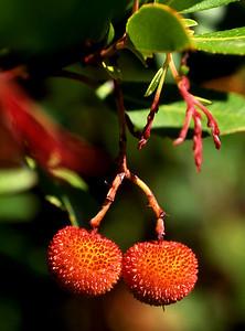 Day 14, 2pm. Strawberry tree [Arbutus unedo]