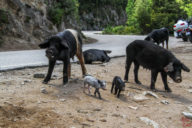 Dangers on Corsican roads - animals 2