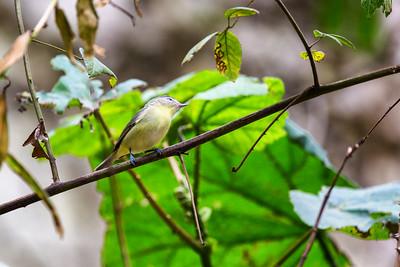 Unidentified bird, San Gerardo de Dota