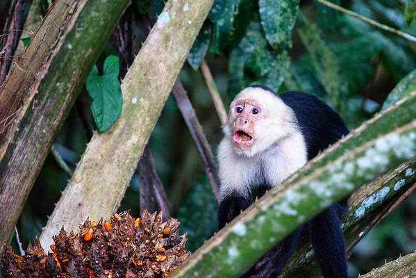 White-faced capuchin, Caño Negro