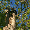 Capuchin monkey!
