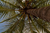 Palm - Costa Rica