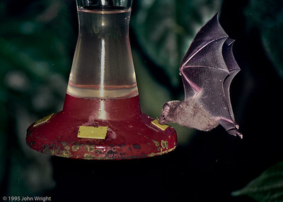 Nectar bats raiding the hummingbird feeder at night
