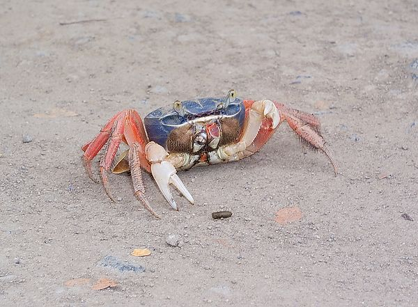 Crab in the middle of the road