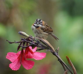 Rufous-collared Sparrow: Zonotrichia capensis
