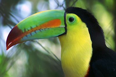 Keel-billed Toucan: Ramphastos sulfuratus
