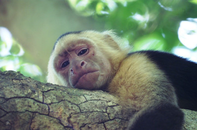 White-faced Capuchin Monkey: Cebus capuchinus