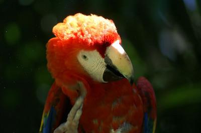 Scarlet Macaw: Ara macao