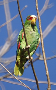 White-fronted Amazon: Amazona albifrons