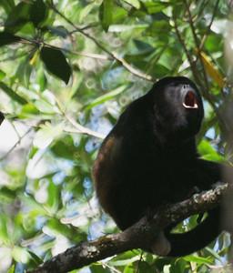 Howler Monkey: Alouatta, subfamily Alouattinae