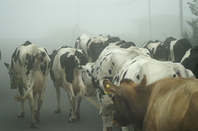 Steamy cows