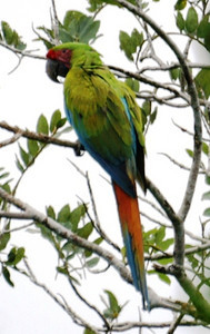 Great Green Macaw: Ara ambigua