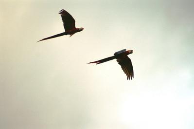 Scarlet Macaws: Ara macao