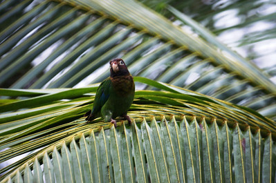Brown-hooded Parrot: Pionopsitta haematotis
