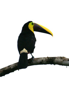 Chestnut-mandibled Toucan: Ramphastos swainsonii