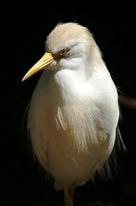 Snowy Egret: Egretta thula