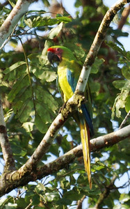 Great Green Macaw: Ara ambiguus