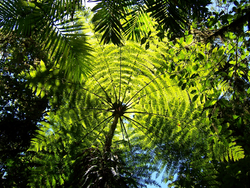Giant Fern. Cloud Forest, Monte Verde.