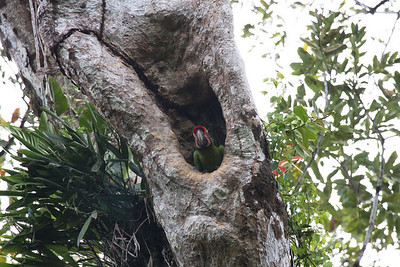 Great Green Macaw (Ara ambigua) chick in nest
