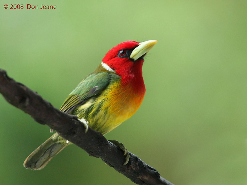 Red-headed Barbet, Cinchona.