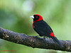 Crimson-collared Tanager, Cinchona.