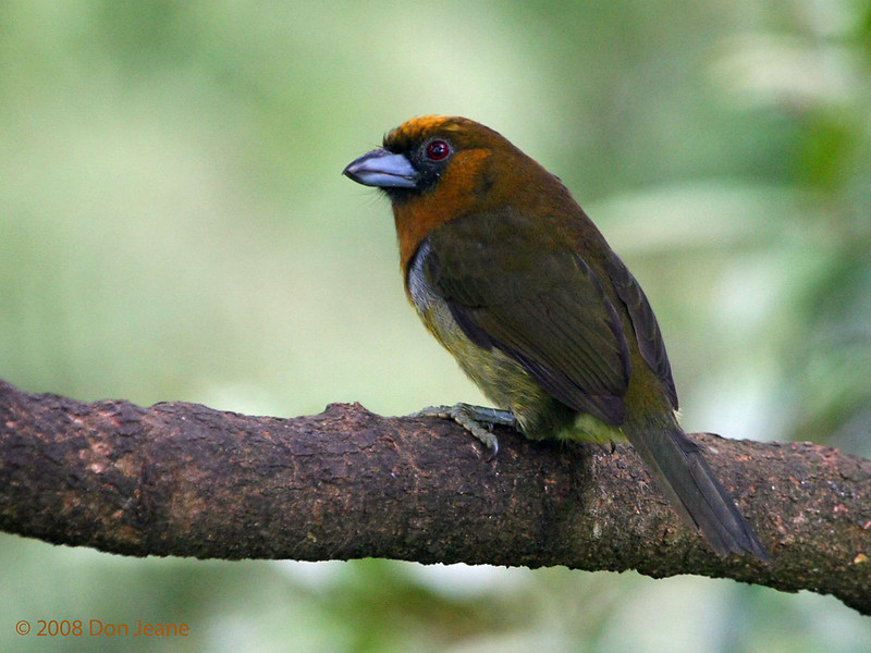 Prong-billed Barbet, Cinchona.