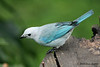 Blue-gray Tanager, Cinchona. Amazing colors.