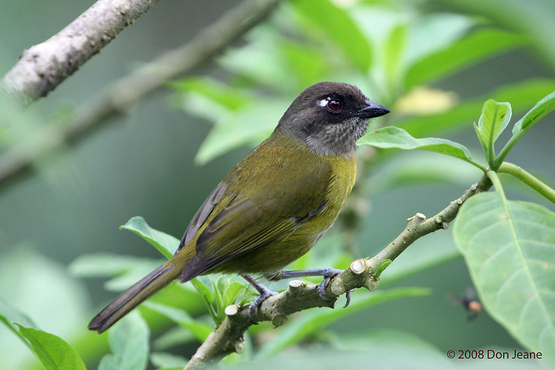 Common Bush-tanager, Cinchona.