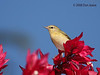 Tennessee Warbler, Hotel Bougainvillea.