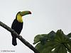 Keel-billed Toucan, La Selva.