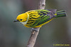 Silver-throated Tanager, Cinchona.