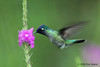 Violet-headed hummingbird, Tapir (old Butterfly Gardens).