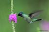 Violet-headed hummingbird, Tapir (old Butterfly Gardens).