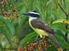 Great Kiskadee, La Selva.