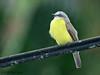Gray-capped Flycatcher, La Selva.